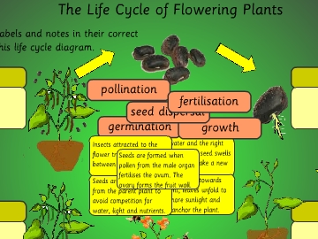 The life cycle of flowering plants game to14 play now ccuart Choice Image