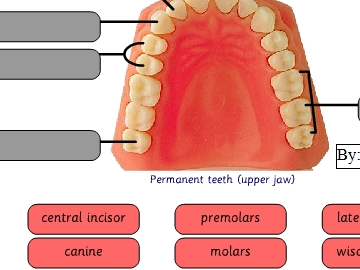 Tooth types game to14 play now ccuart Image collections
